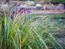 Gräs för Pennisetumfoxtailspringbrunn Royaltyfri Foto