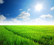Gräs för Ricefältgreen arkivfoto