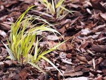 Gräs för skog för Hakonechloa macra'gloria' - guld- japanskt Arkivbilder