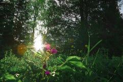 Gräs för sol för blommaskogsoluppgång Royaltyfria Foton