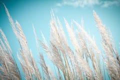 Gräs för vit fjäder för Softness med retro bakgrund och utrymme för himmelblått Arkivfoto