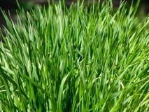 gräs görar grön texturbarn Fotografering för Bildbyråer