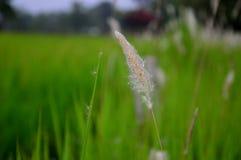 Gräs gräs, ljung, mjöd, äng, pampors, prärie Arkivbilder