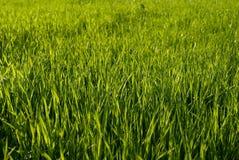 gräs green royaltyfria bilder
