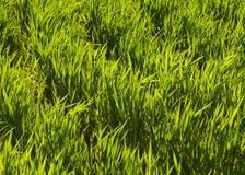 gräs green Arkivbilder