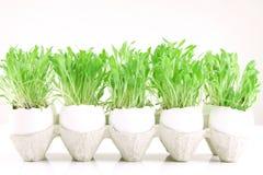 Gräs i ägg Fotografering för Bildbyråer