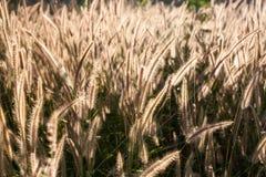 Gräs i ängen och solnedgången Royaltyfria Bilder