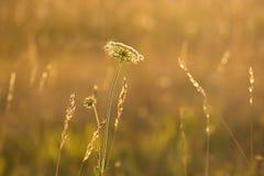 Gräs i ängen på gryning Arkivfoton
