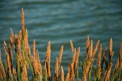 Gräs i bord av floden Arkivfoton