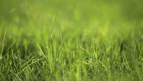 gräs i den backlit våren arkivfilmer