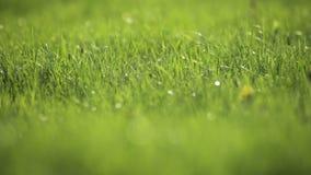 gräs i den backlit våren stock video