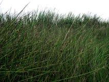 Gräs i ett träsk arkivfoto