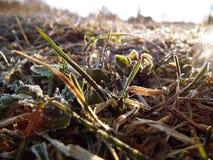 Gräs i frosten arkivbild