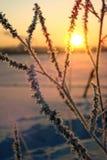 Gräs i insnöat ett fält mot inställningssolen försiktig solnedgång i vintern Royaltyfria Bilder