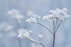 Gräs i insnöat ett fält mot inställningssolen Stilla solnedgången Royaltyfria Bilder