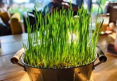 Gräs i krukor med solljus Royaltyfri Foto