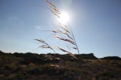 Gräs i linda Arkivbild
