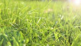 Gräs i morgonen arkivfilmer
