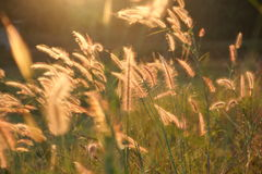 Gräs i morgonsunen. Fotografering för Bildbyråer