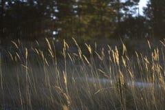 Gräs i skogen på solnedgångdagen Illustration av tomhet och reflexionen arkivbild