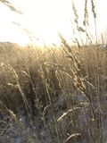 Gräs i solen i vinter royaltyfri foto