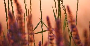 Gräs i solnedgången, mjukt ljus royaltyfri fotografi