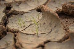 gräs i torka Arkivfoton