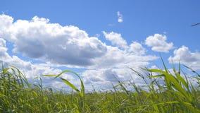 Gräs i vind under den härliga molniga himlen arkivfilmer