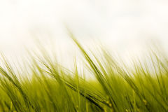 Gräs i vinden Royaltyfria Bilder