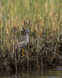 gräs lesser marshyellowlegs Arkivbilder