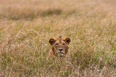 gräs lionen mara masai Royaltyfri Bild