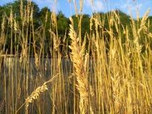 gräs long Royaltyfri Bild