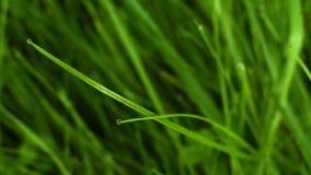 Gräs makroen med droppar av vatten som svänger i vinden arkivfilmer