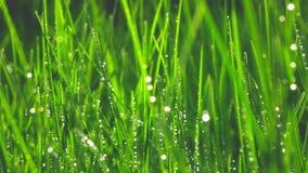 Gräs med daggdroppar, ultrarapid arkivfilmer