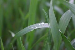 Gräs med daggdroppe Arkivfoton