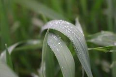 Gräs med daggdroppe Royaltyfri Bild