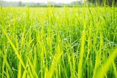 Gräs med fångad dagg Royaltyfri Foto