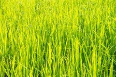 Gräs med fångad dagg Royaltyfria Bilder