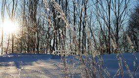 Gräs med frost Arkivbilder