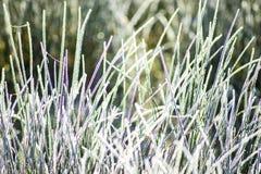 Gräs med iskristaller Fotografering för Bildbyråer
