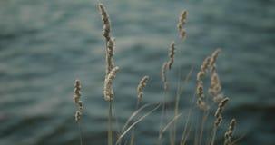 Gräs med knoppar som svänger i ultrarapid, krickavatten i bakgrunden arkivfilmer
