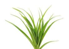 Gräs med rotar Royaltyfria Foton