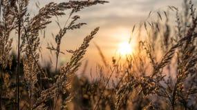 Gräs med solnedgångbakgrund Arkivfoto