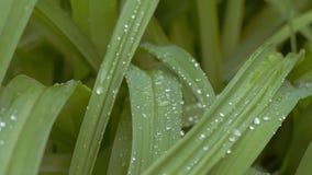 Gräs med vatten tappar ultrarapidvideoen arkivfilmer