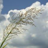 Gräs mot skyen Royaltyfri Fotografi
