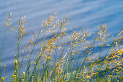 Gräs mot vatten Bakgrund royaltyfri foto