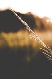 Gräs när solnedgång Arkivbilder