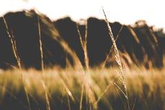 Gräs när solnedgång Fotografering för Bildbyråer