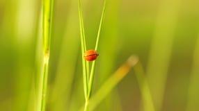 gräs nyckelpigan Fotografering för Bildbyråer