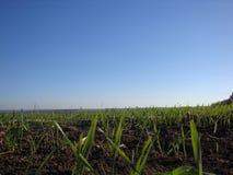 Gräs Nytt grönt vårgräs med closeupen för daggdroppar sun royaltyfri bild